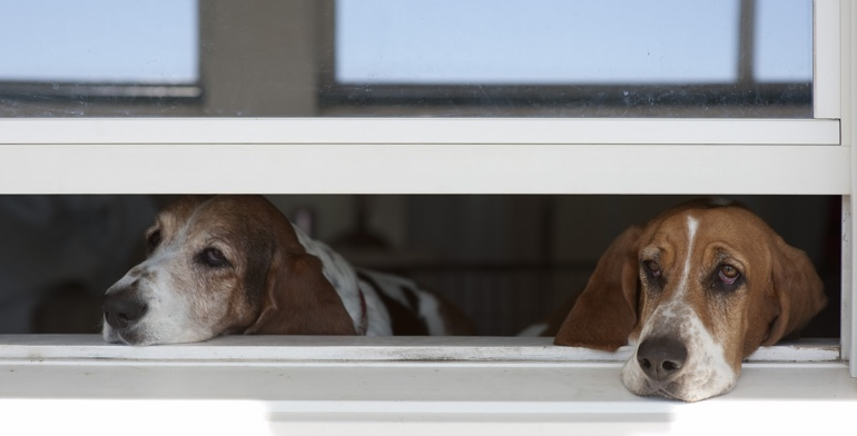 Beagles look out open window without window treatment in New Brunswick.